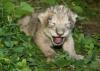Une petite lionne d'Asie née y a quelques jours à Besançon n'a malheureusement pas survécu :'(