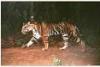 Les Tigres Noirs de Similipal