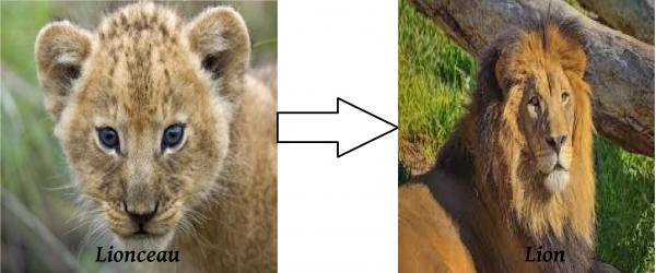 Vie de Lionceau.....au Lion
