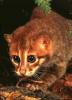 Carte d'identité du Chat à tête plate