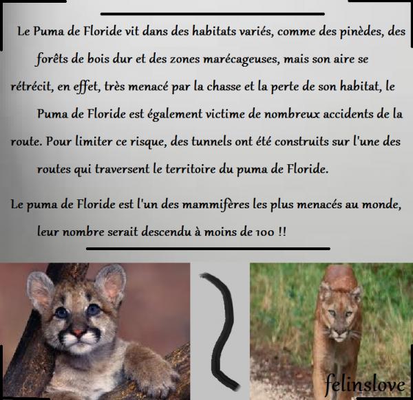 - Le Puma de Floride -