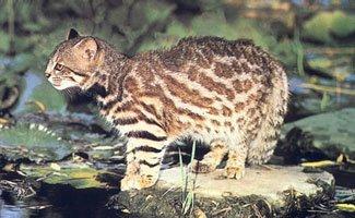 Le chat des pampas, dit le colo-colo
