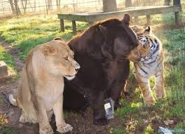 Un lion, un tigre et un ours  devenus amis pour la vie !