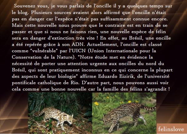 ► Une espèce de félin très rare repérée au Brésil grâce à son ADN ◄