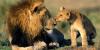 2 Pétitions pour les lions !