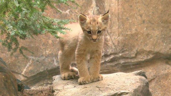 /!\ URGENT : Un bébé lynx orphelin recherché dans le Jura /!\
