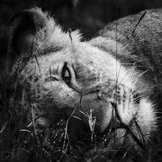 La population des lions d'Afrique en forte baisse...