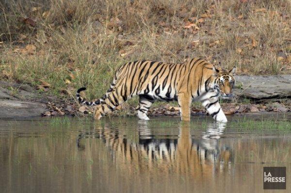 L'Inde, royaume du tigre.