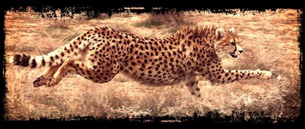 ♦ Info sur la situation actuelle des guépards ♦