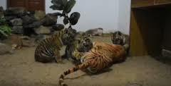 Une maman tigre... en plastique ?