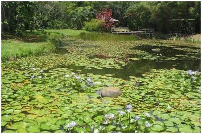 Jardin d'eau, Guadeloupe Source photo ● En savoir plus sur la Guadeloupe ● Envoyez vos photos ● Le webmasteur