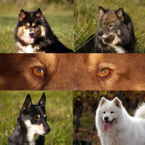 Elevage Aegirsson - chiens nordiques