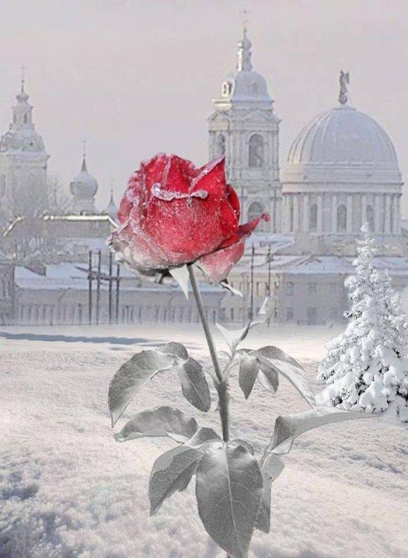 Une rose rouge dans la neige!