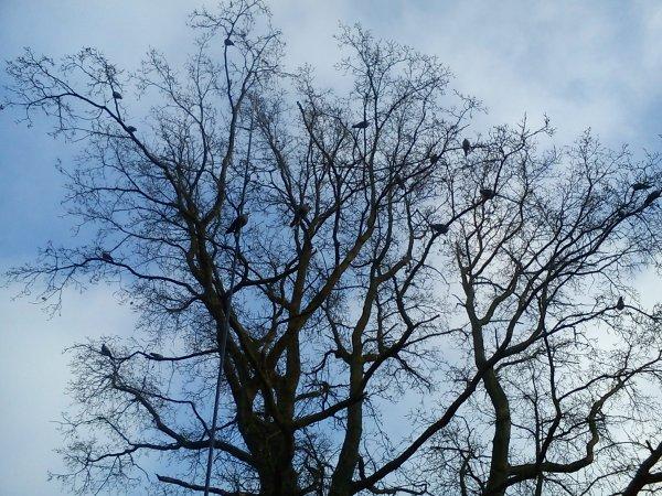 08/12/12 poste a pigeon mise en place de 40 formes dans les arbres!
