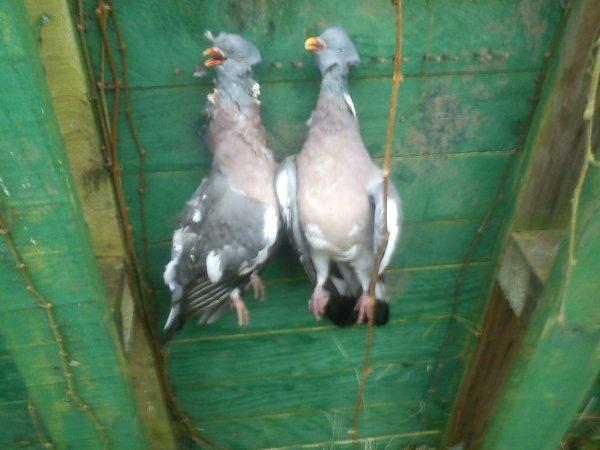 05/01/13 matinée au poste a pigeon