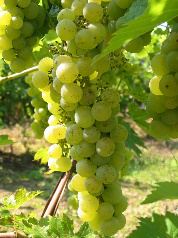 Vue sur les vignes - du coté de Niederhausbergen