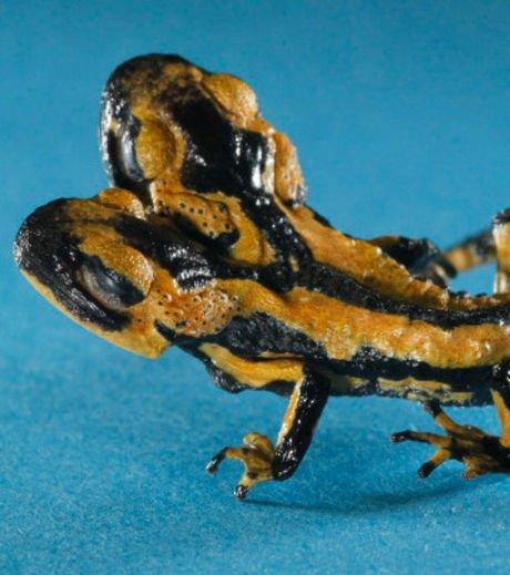 Découvrez les photos de la salamandre à deux têtes recueillie en Allemagne
