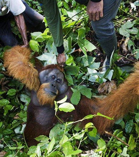 En images : les orangs-outans de Sumatra plus que jamais menacés par la déforestation