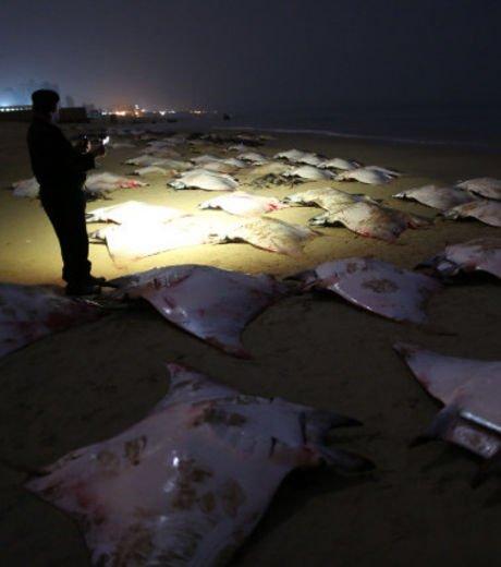 Plus de 200 raies s'échouent mystérieusement sur une plage de Gaza