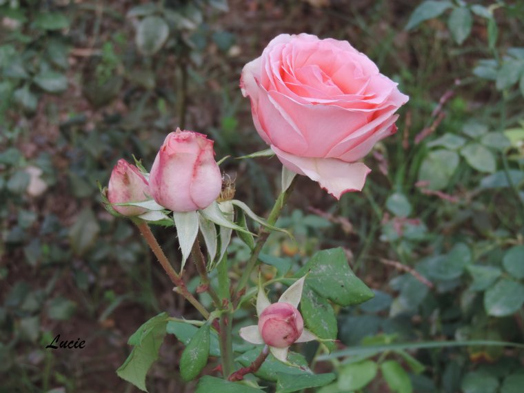 Maroc - Fleurs
