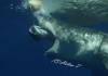 Reveuse-de-Requin