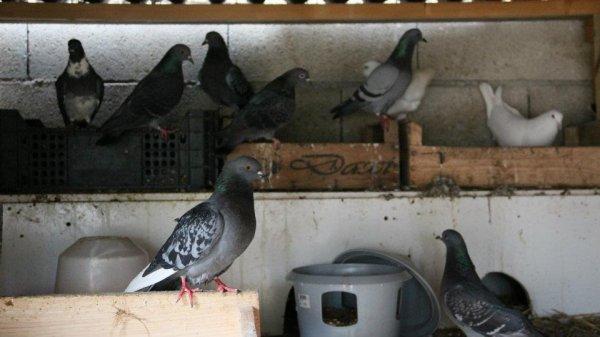 pigeons en repro on a eu plein de petit