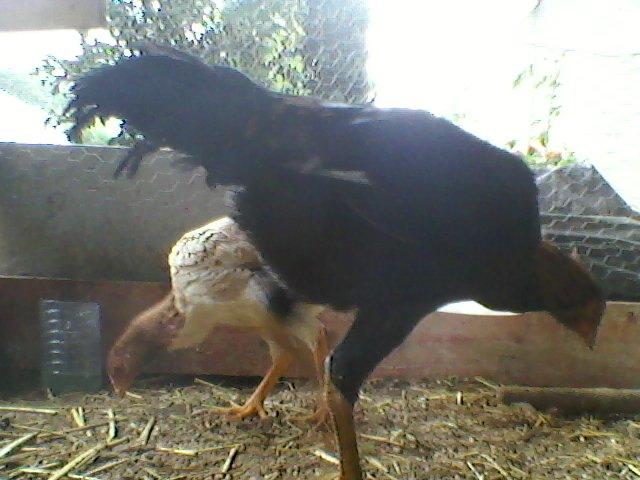 Elevage de coqs combattants