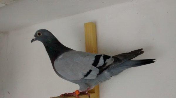 Pigeon D'origine Español