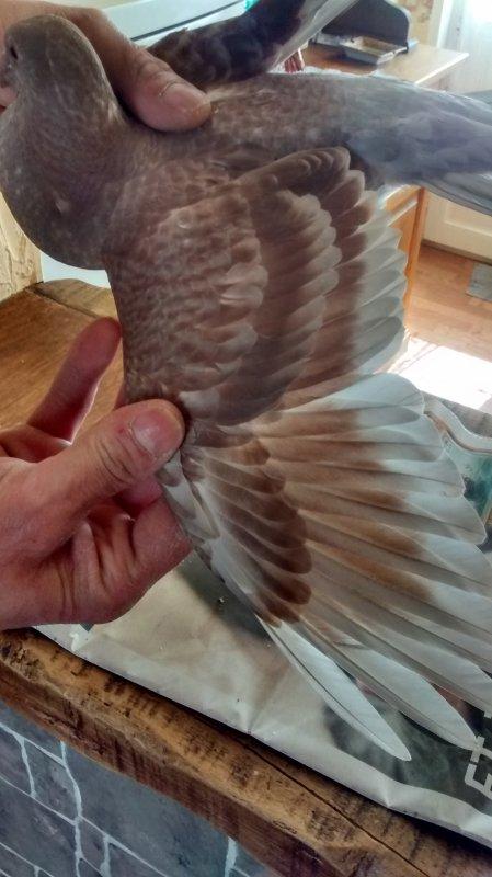 Pigeonneau Menier Mâle Très Belle Couleur Marron