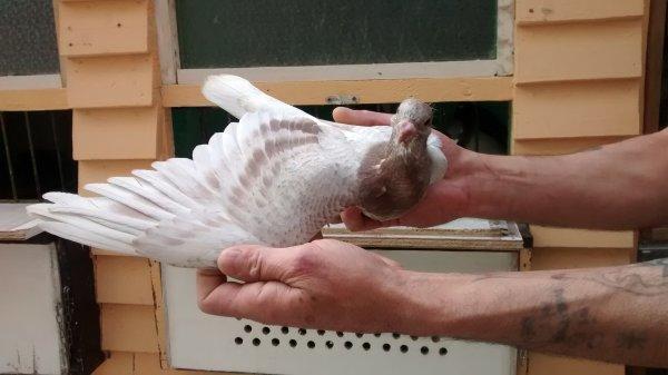 Pigeonneau Meunier