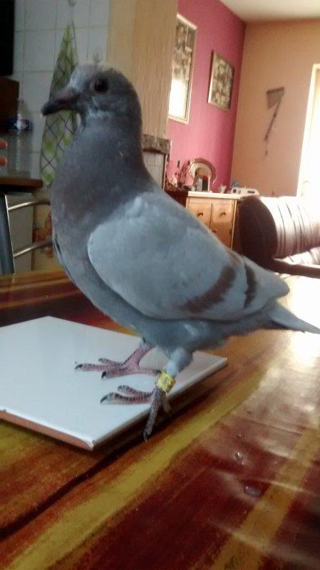 Pigeon qui sera mis en vente