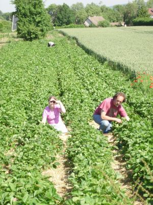 La plantation de fraisier g a e c vergers brousse for Plantation fraisier