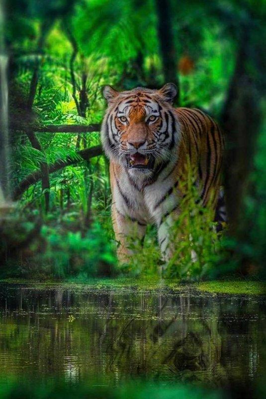 Le tigre : mon animal préféré