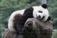des panda