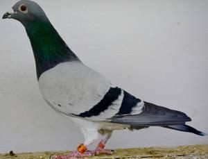 Merci aux personnes qui nous permettent de retrouver nos pigeons de Barcelone notre 450 est blessé sur saint quentin. On va le récupérer.merci énormément.