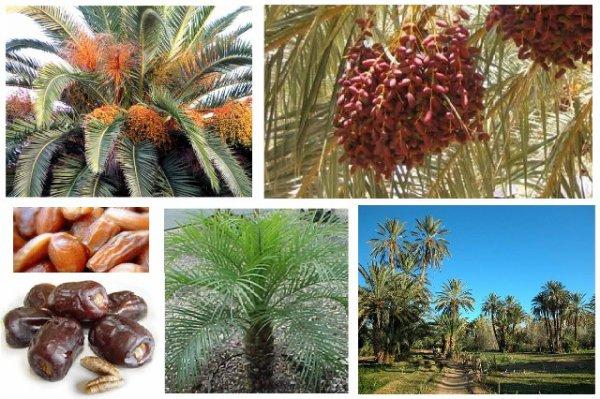 La récolte des dattes à Bounoura W. de Ghardaia région du M'zab en  Algerie