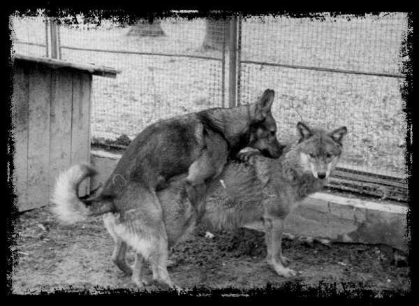 Le  chien loup tchèque