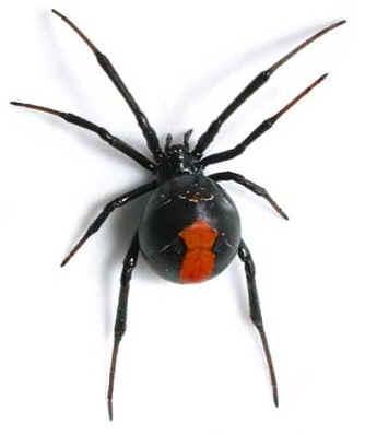 Araign e veuve noire elle poss de un plus puissance venin chez toutes les groupes d - Araignee rouge savon noir ...