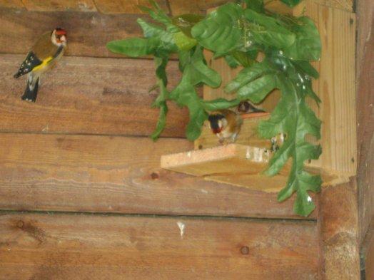 femelle chardonneret aux  nid  exelent