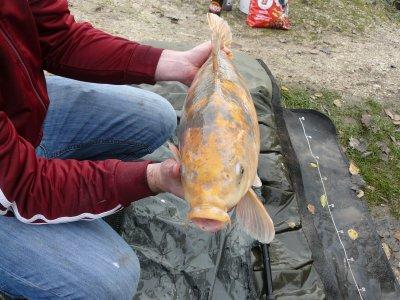 au poisson rouge