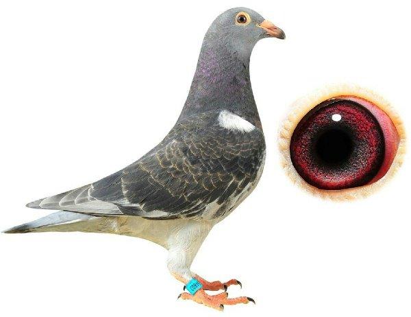 الحمام زاجل جميع انواع الطيور