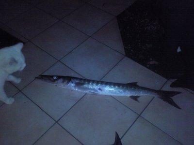 jolie barracuda 2.5kg