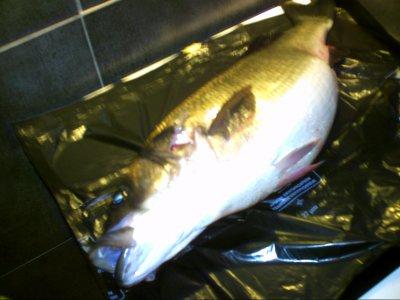peche du 15/01/2012 gros loup 8kg700