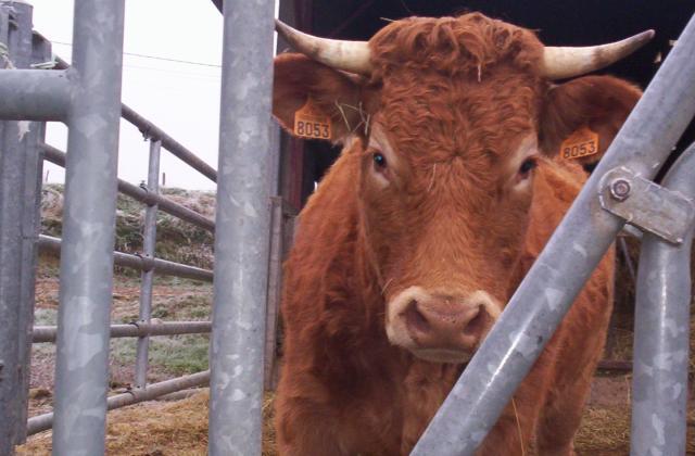 amour vache