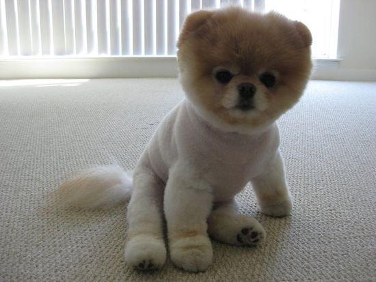 Boo le chien