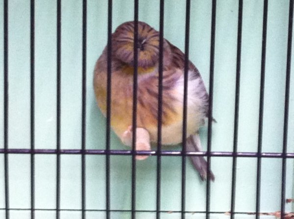 Corona vert 2013 en cage d expo