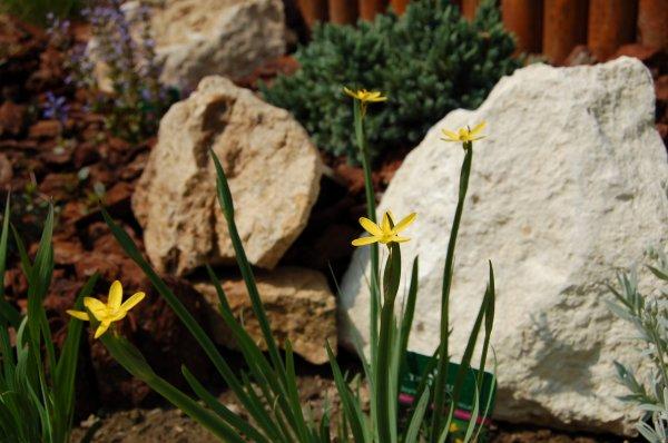 Les fleurs de la rocaille