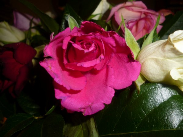 Une rose de mon jardin