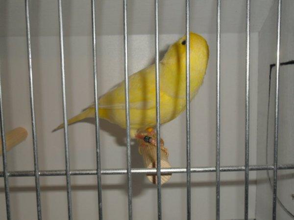 Femelle jaune schimel