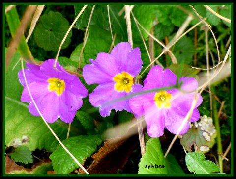 Fleurs Printaniéres